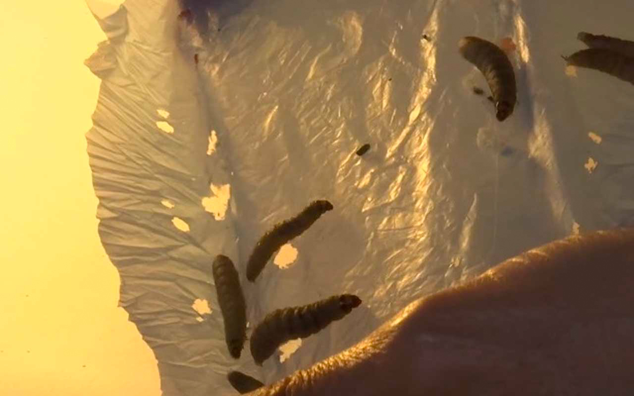 Wax worms can eat through plastic but takes time