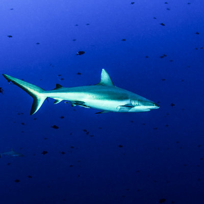 Discovery Sharks an see them in the deep blue